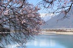 Fiore della prugna con il fondo del fiume Immagine Stock