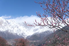 Fiore della prugna con il fondo della montagna della neve Fotografia Stock
