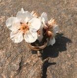 Fiore della prugna con un anello Fotografia Stock