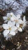 Fiore della prugna della primavera Fotografia Stock
