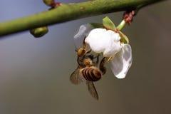 Fiore della prugna e dell'ape Fotografia Stock Libera da Diritti