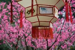Fiore della prugna e della lanterna fotografia stock libera da diritti