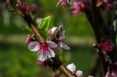 Fiore della prugna e l'ape Fotografie Stock