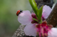 Fiore della prugna e la coccinella Fotografia Stock Libera da Diritti