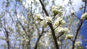 Fiore della prugna sull'albero in natura video d archivio