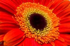 Fiore della raccolta della margherita del gerber Immagine Stock Libera da Diritti