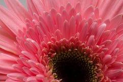 Fiore della raccolta della margherita del gerber Immagine Stock