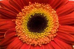 Fiore della raccolta della margherita del gerber Fotografie Stock