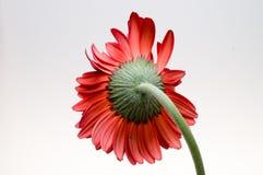Fiore della raccolta della margherita del gerber Fotografia Stock