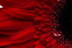 Fiore della raccolta della margherita del gerber Immagini Stock Libere da Diritti