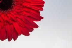 Fiore della raccolta della margherita del gerber Immagini Stock