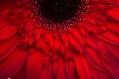 Fiore della raccolta della margherita del gerber Fotografia Stock Libera da Diritti