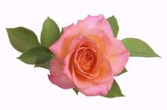 Fiore della Rosa Fotografie Stock
