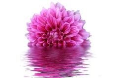 Fiore della Rosa Fotografia Stock
