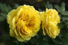 Fiore della Rosa Immagini Stock Libere da Diritti