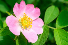 Fiore della rosa canina su un ramo verde Fotografie Stock Libere da Diritti