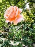 Fiore della Rosa con le gocce dell'acqua Fotografia Stock