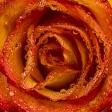Fiore della Rosa con le gocce dell'acqua Primo piano Immagine Stock