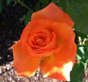 Fiore della rosa della rosa arancione Immagine Stock Libera da Diritti