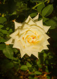 Fiore della rosa di bianco Fotografia Stock