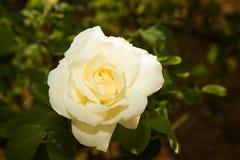 Fiore della rosa di bianco Fotografie Stock