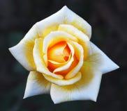 Fiore della rosa di giallo Fotografie Stock Libere da Diritti