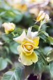 Fiore della rosa di giallo Immagini Stock