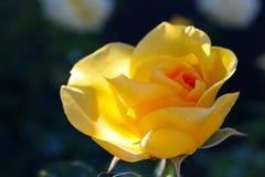 Fiore della rosa di giallo ad Inez Grant Parker Memorial Rose Garden Fotografia Stock