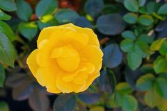Fiore della rosa di giallo ad Inez Grant Parker Memorial Rose Garden Immagine Stock Libera da Diritti
