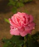 Fiore della rosa di rosa Immagini Stock
