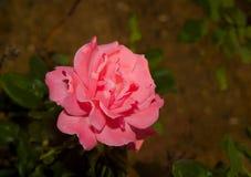 Fiore della rosa di rosa Fotografia Stock