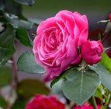 Fiore della rosa di rosa Fotografia Stock Libera da Diritti