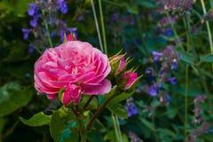 Fiore della rosa di rosa con le gocce di pioggia in giardino Piante verdi e lavanda come fondo closeup Immagine Stock Libera da Diritti