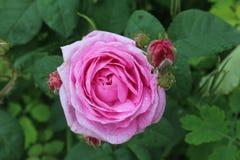 Fiore della rosa di rosa nel giardino Fotografia Stock Libera da Diritti
