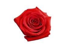 Fiore della rosa rossa Immagini Stock Libere da Diritti