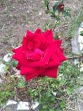 Fiore della rosa rossa!! Fotografia Stock