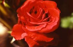 Fiore della rosa rossa del primo piano Fotografia Stock Libera da Diritti
