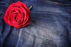 Fiore della rosa rossa sulle blue jeans Fotografia Stock Libera da Diritti