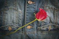 Fiore della rosa rossa sulle blue jeans Fotografie Stock Libere da Diritti