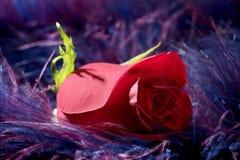 Fiore della Rosa sopra la priorità bassa molle di porpora della piuma Fotografie Stock Libere da Diritti