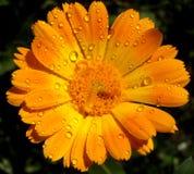 Fiore della rugiada Immagini Stock