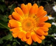 Fiore della rugiada Fotografie Stock