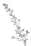 Fiore della salvia d'argento Immagini Stock
