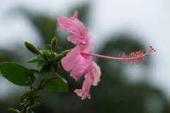 Fiore della scarpa Fotografia Stock