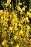 Fiore della scopa Immagine Stock