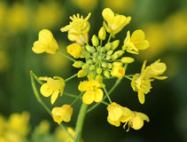 Fiore della senape Fotografie Stock