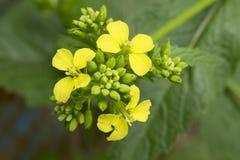 Fiore della senape immagine stock libera da diritti