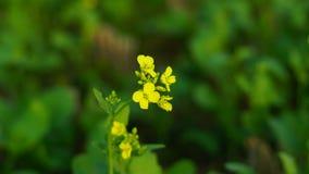 Fiore della senape in senape che coltiva con il fondo immagine stock