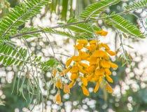 Fiore della Sesbania Immagini Stock Libere da Diritti