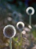 Fiore della sfera fotografia stock